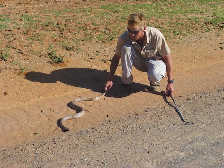 kobra i afrika