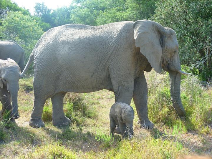 Elefantbarn Marmelad